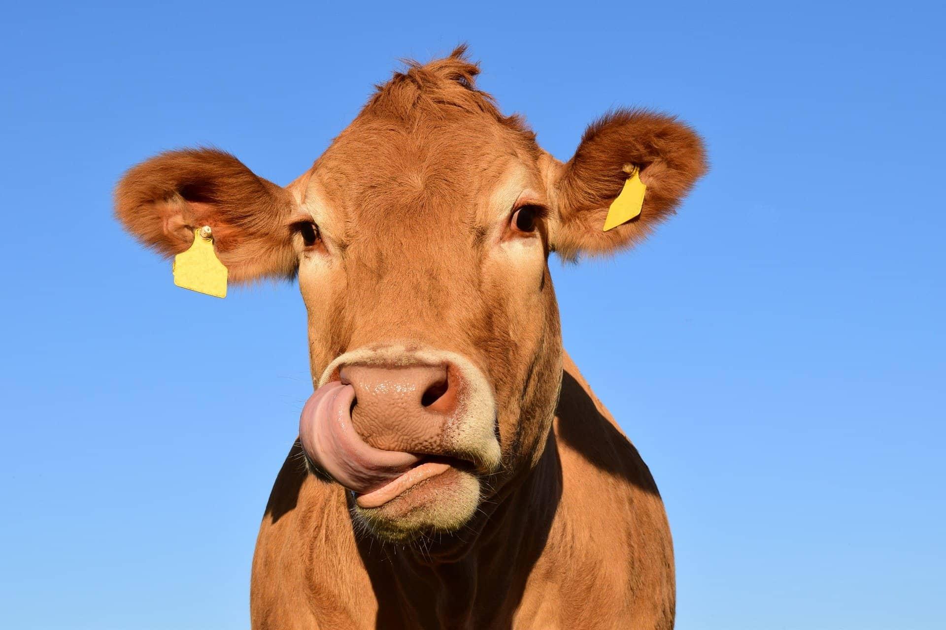 www.mydailyspanish.com Tongue Twisters Cow